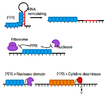 In vivo role of PPR proteins